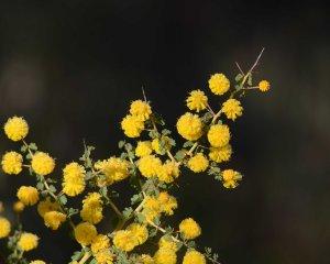 Acacia pulchella Leeming RP Aug15 DSC_1249 4x5