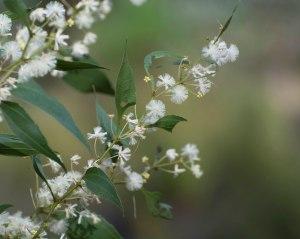 Acacia urophylla