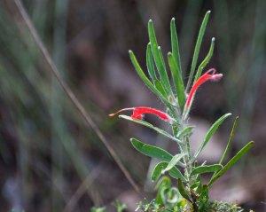Adenanthos barbiger