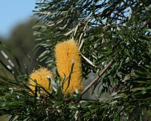 Banksia Littoralis Jandakot RP May15 DSC_0168a 4x5