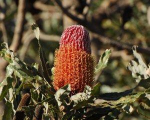 Banksia Menziesii RP Jun08 DSC_0186a 4x5