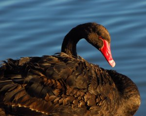 Black Swans are very commonly seen in Perth.