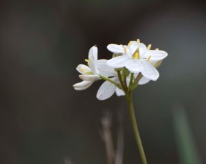 Milkmaids (Burchardia umbellata)
