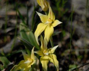 caladenia flava mokine NRaug 2013rp04a 4x5