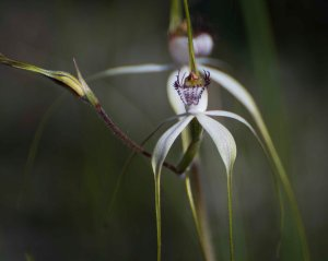 White Spider Orchid (Caladenia longicaudia)
