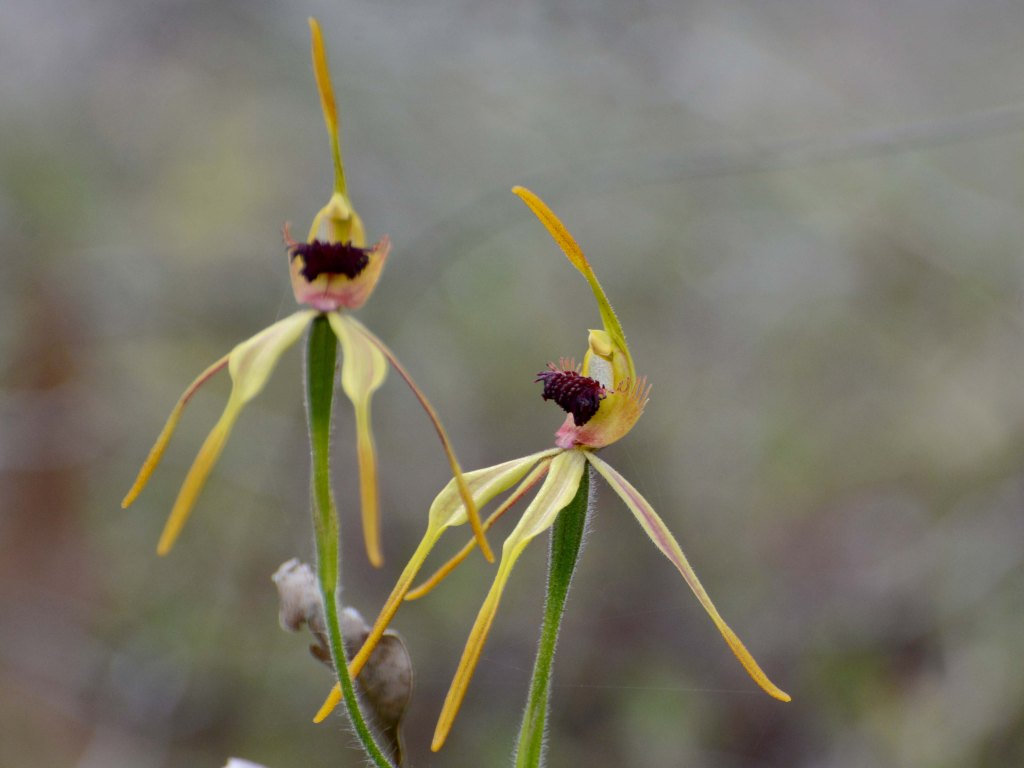 See Spider Orchids on a Wildflower tour.