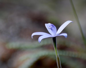 Silky Blue Orchid (Cyanicula sericea) flowers in spring.