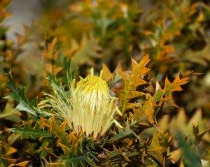 Banksia Armata