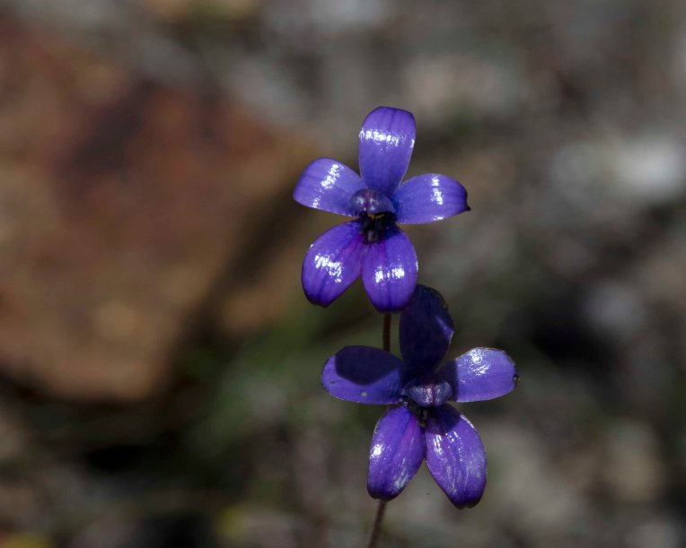 Purple Enamel Orchid (Elythranthera brunonis)