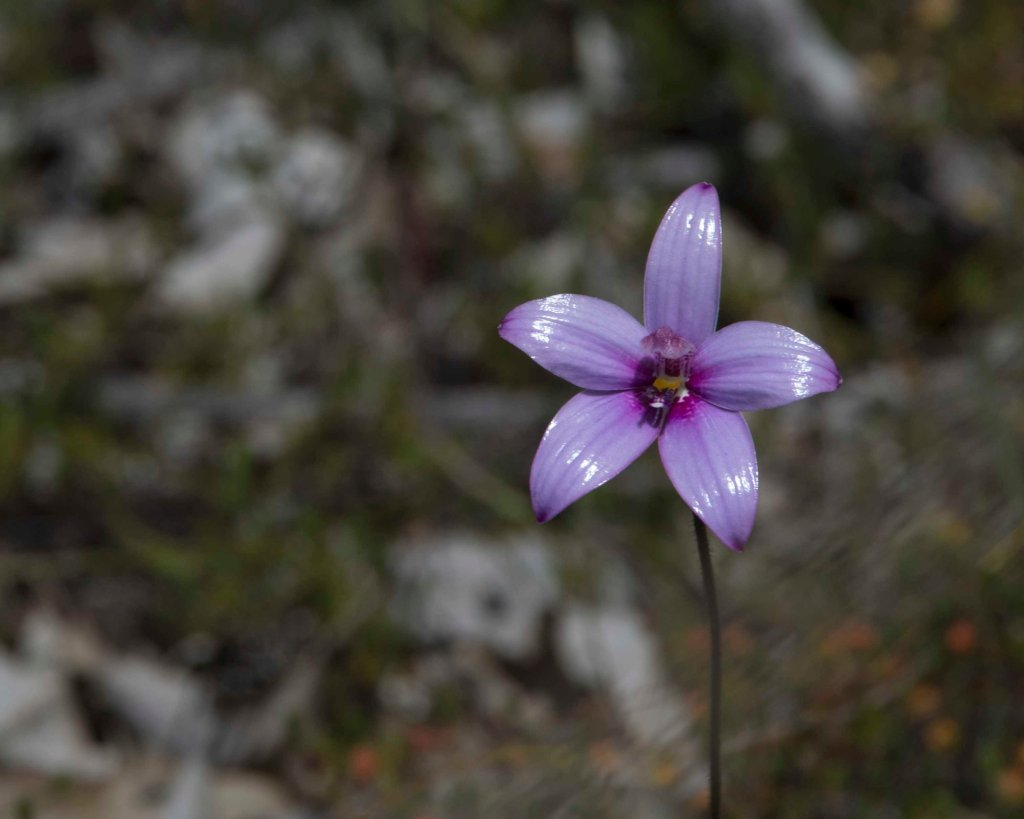 Pink Enamel Orchid (Elythrathera emarginata)