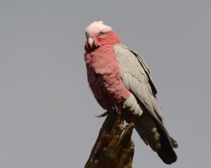 Galah is a very common bird in Perth.
