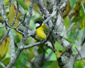 golden whistler male wungong gorge02 4x5a