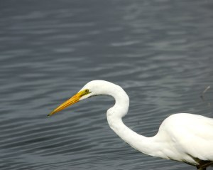 great egret bayswater sep 09 4x5a