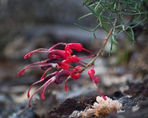 Fuschia Grevillea (Grevillea wilsonii)