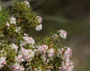 Honeybush can be seen on a wildflower tour