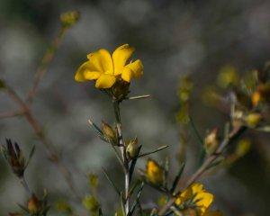 Golden Hibbertia (Hibbertia aurea)