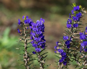 See Prickly Hovea (Hovea pungens) on a wildflower tour