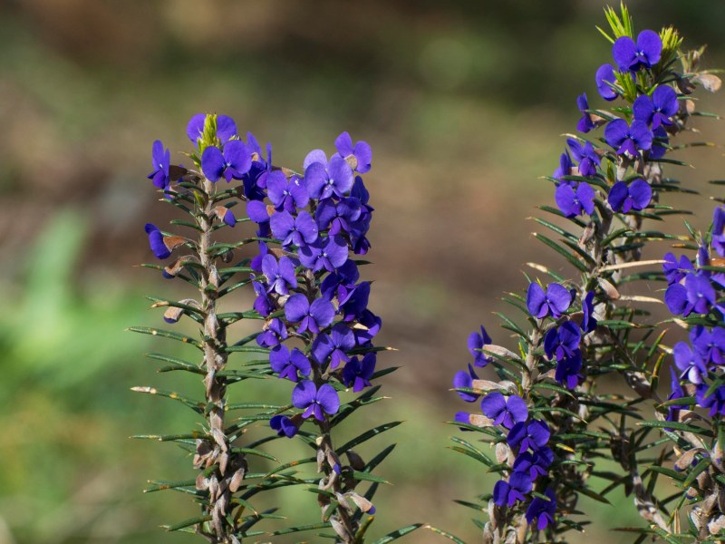 Prickly Hovea (Hovea pungens)
