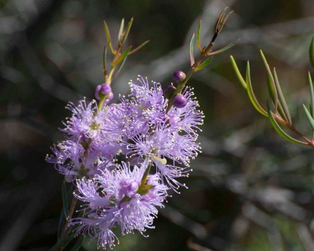 Graceful Honeymyrtle (Melaleuca radula)