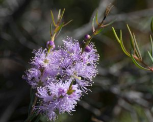 Graceful Honeymyrtle (Melaleuca radula)