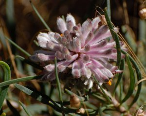 petrophile linearis north Lake nov 2013 RP01a 4x5