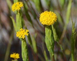 Golden Podotheca (Podotheca gnaphalioides)