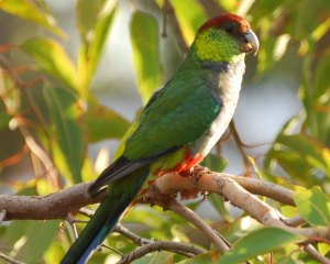 red cap parrot Yangebup00014x5