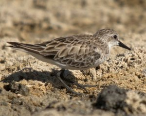 Red-necked Stints are one of the more common migratory waders and is seen from October to March.