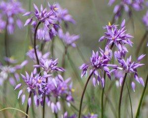 Sowerbaea laxiflora