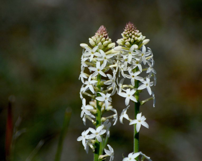 White Candles (Stackhousia monogyna) flowers in spring.