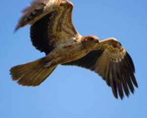 Whistling Kite is a common bird in Perth.