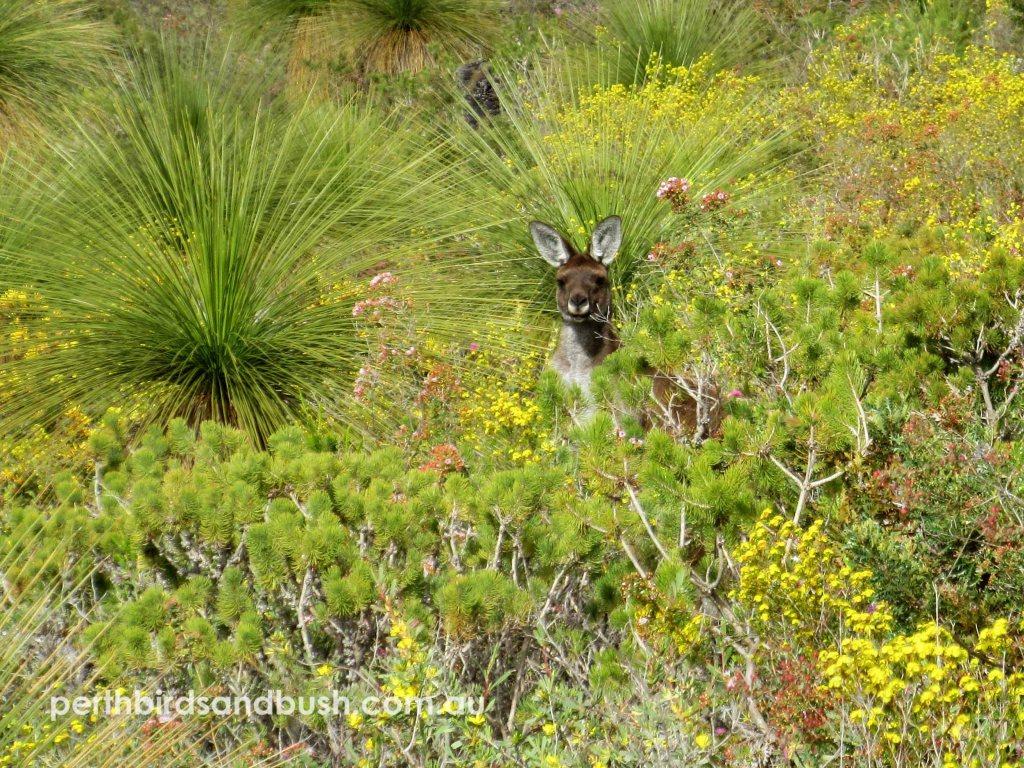 A Western Grey Kangaroo among the wildflowers at Banyowla Regional Park