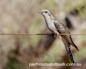 Pallid Cuckoos are uncommon to rare in Perth.