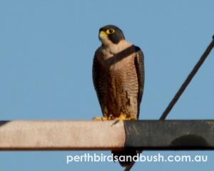 Peregrine Falcon are uncommon to rare in Perth.