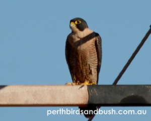 Peregrine Falcon are uncommon to rare in Perth.