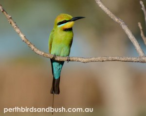 Rainbow Bee-eaters are common in Perth during Spring and Summer.