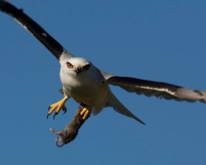 Black-shouldered Kite is a common raptor found in the outer suburbs.
