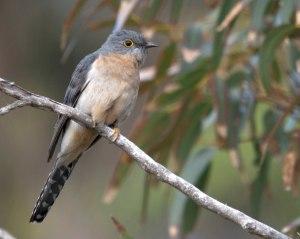 Fan-tailed Cuckoo