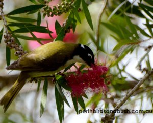 Gilberts (Western White-naped) Honeyeater is an uncommon bird in Perth.