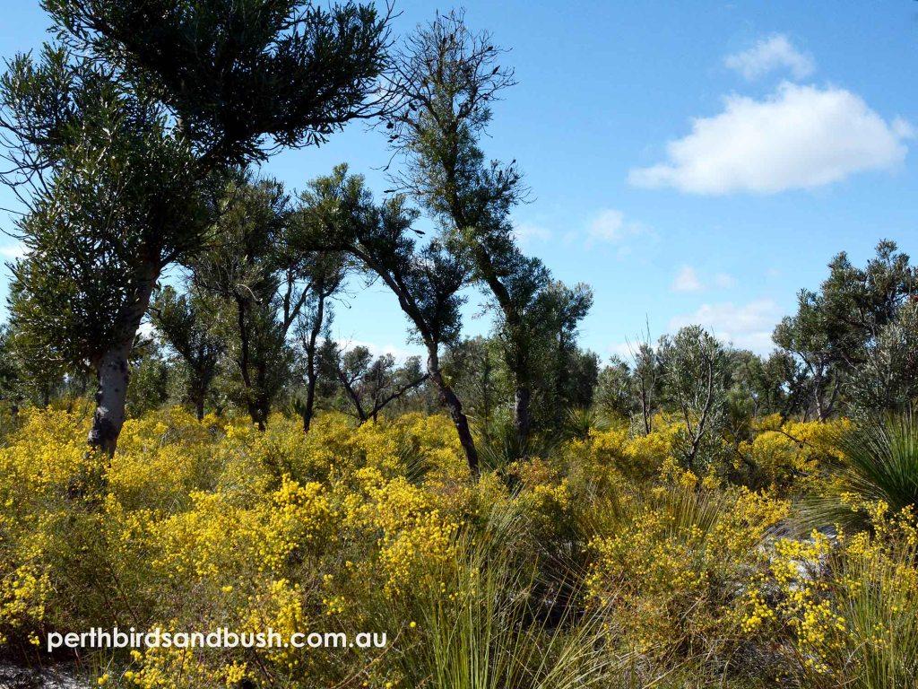 Beautiful wildflowers in August to December in Banksia Woodlands.