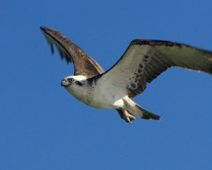 Eastern Osprey is seen along the coast and river.