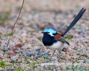 Red-winged Fairy-Wrens are found in the Perth Hills.