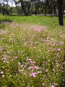 Everlastings Toodyay