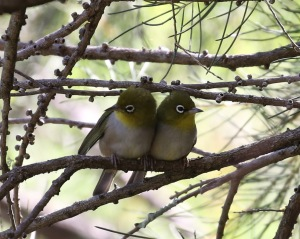 Silvereyes by Robert Lewis
