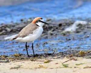 Red-capped Plover by Ian Sylvester Dorney Photos