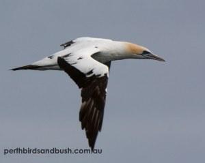 Australsian Gannet (Morus serrator)