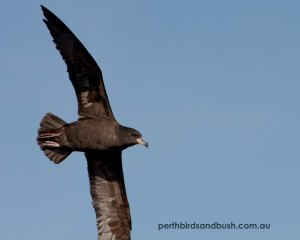 Flesh-footed Shearwater (Ardenna cardeipes)