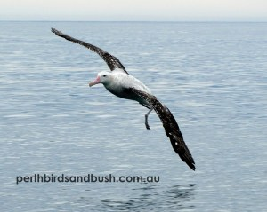 Antipodean Albatross ssp gibsoni
