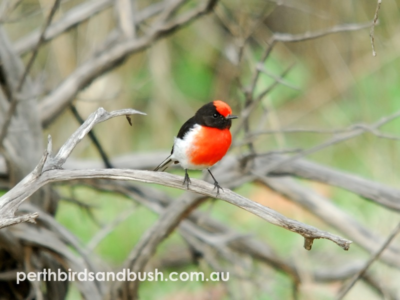 Red-capped Robins are always a favourite!