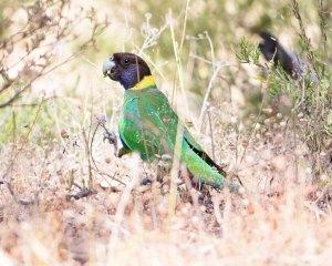 Australian Ringneck parrot by Jasmine Boehm